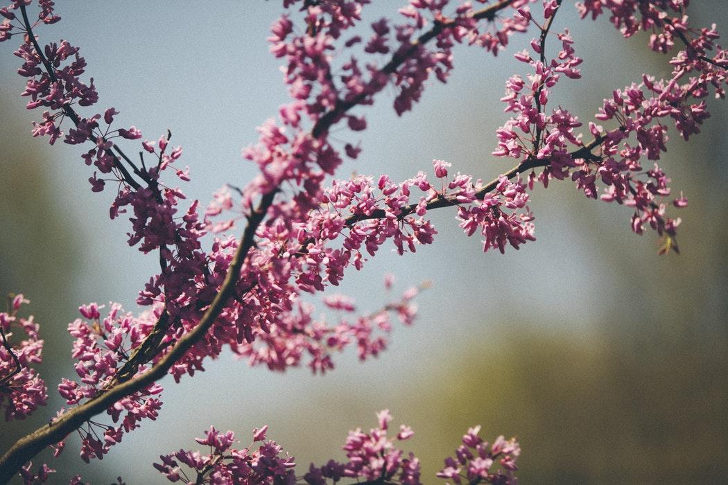 flores de flor de cerezo